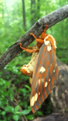 Regal Moth, Citheronia regalis