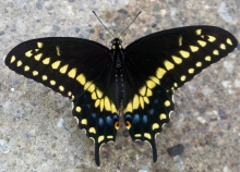 The Black Swallow Tail (Papilio polyxenes)