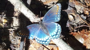 Red-Spotted Purple Admiral (Limenitis-arthemis)