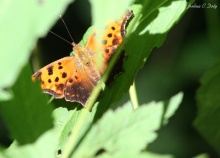 The Eastern Comma (Polygonia comma)