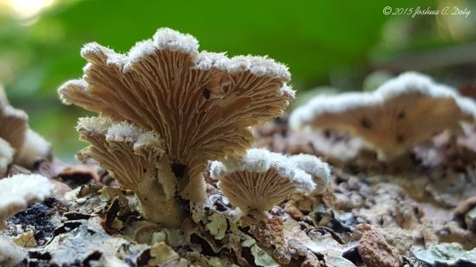The Split Gill Fungus - Schizophyllum commune