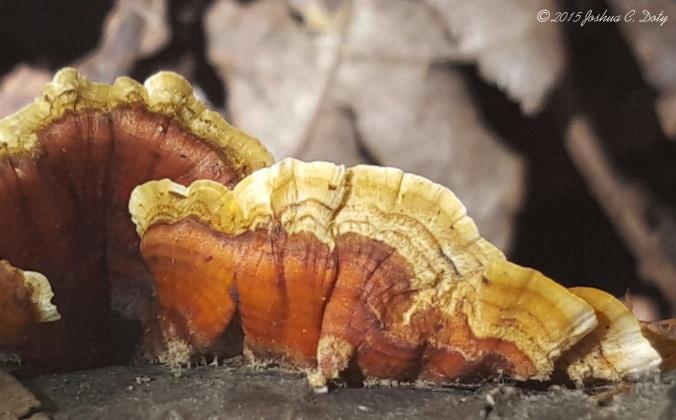 The False Turkey Tail Fungus - Stereum ostrea