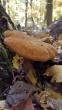 Polyporus radicatus