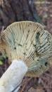 Lactarius chelidoniun var chelidonioides