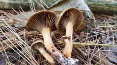 Chroogomphus sp.