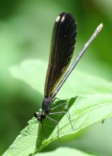 Damselfly - Female Ebony jewelwing