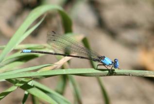 Damselfly - Blue-fronted Dancer