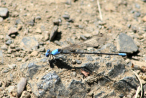 Damselfly - Blue-fronted Dancer
