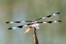 The twelve-spotted skimmer (Libellula pulchella)