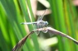 dragonfly (1)