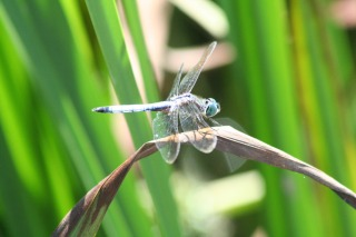 dragonfly (1)