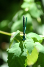 Damselfly - Male Ebony jewelwing