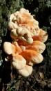 Laetiporus cincinnatus