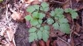 Wild Anise Root