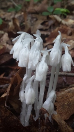 Ghost Plant, Indian Pipe