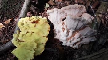 Laetiporus sulphureus (left) & Laetiporus cincinnatus (right)