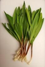 Ramps, Allium tricoccum