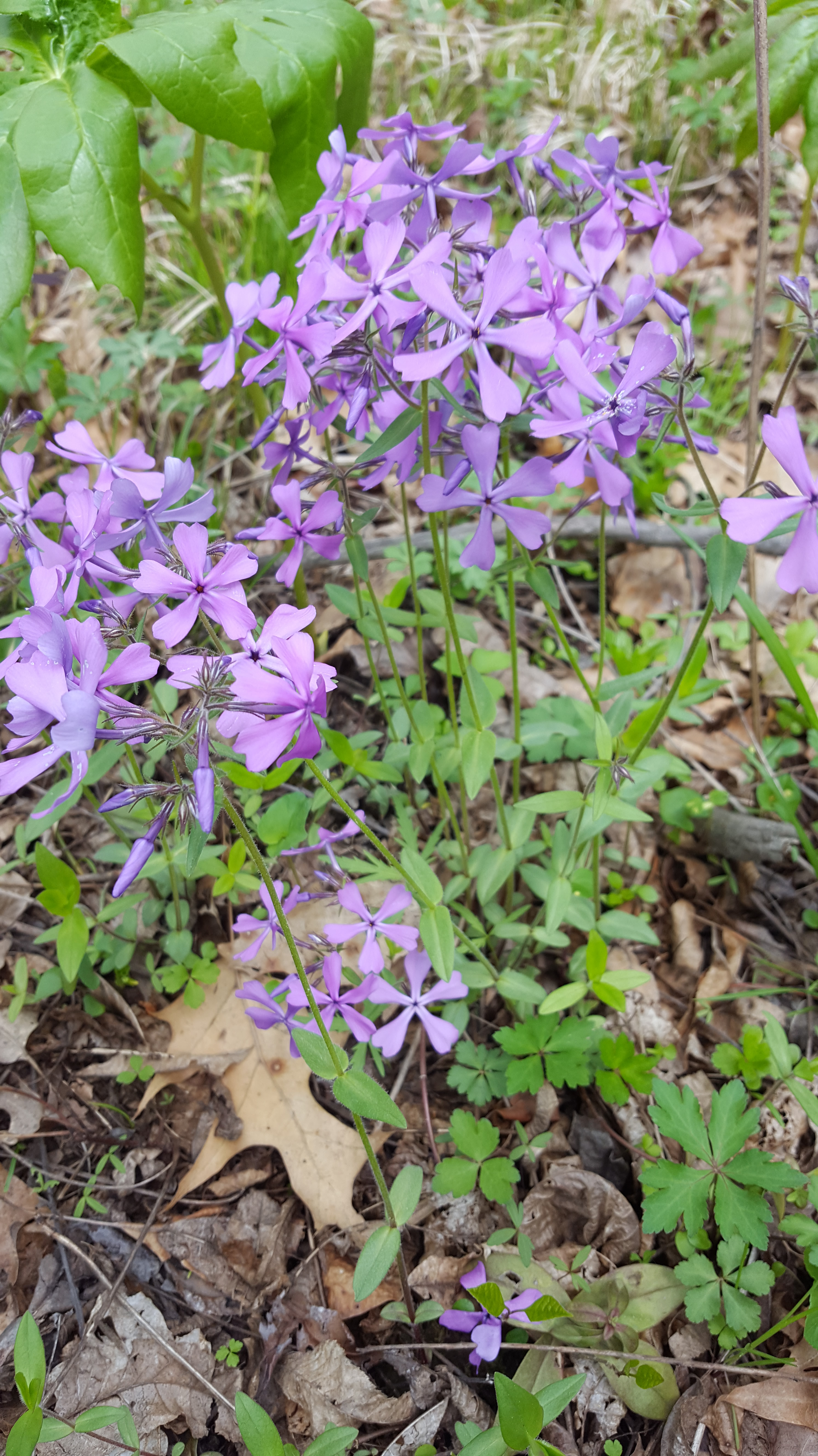Common Plants In Western Pennsylvania Foto Foraging A
