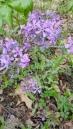 Woodland Phlox