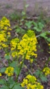 Wintercress