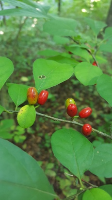 Spicebush
