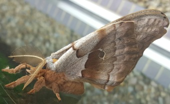 Giant Silk Moth (Antheraea polyphemus)