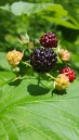 Black Rasberry
