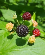 Black Raspberries, Rubus occidentalis