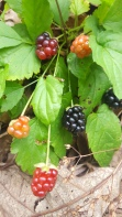 Dewberries, Rubus flagellaris