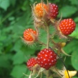 Wine Raspberries, Rubus phoenicolasius