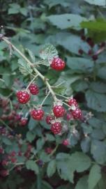 Blackberries, Rubus pensilvanicus