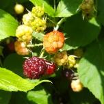 Black Raspberries, Rubus occidentalis