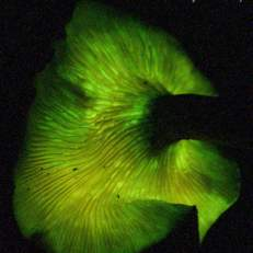 Jack-o'lantern mushroom
