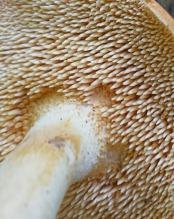 The Hedgehog Mushroom