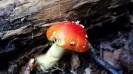 Red Amanita
