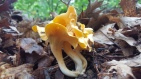 Smooth Chanterelle