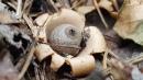 Earthstar puffball mushroom