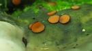 The Eyelash cup mushroom
