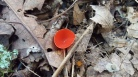 red cup mushroom with stem.