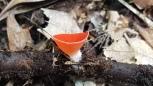 Sarcoscypha occidentalis
