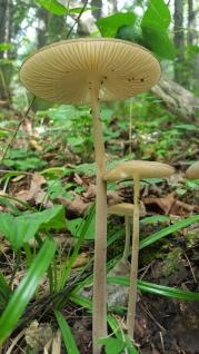 Hymenopellis furfuracea