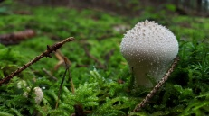 Lycoperdon species