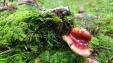 Russula species