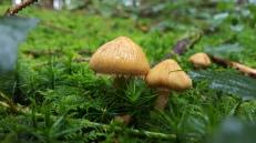 Cystoderma amianthinum var. rugosoreticulatum