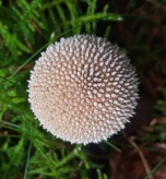 Lycoperdon species