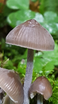 Mycena species (possible Mycena polygramma)