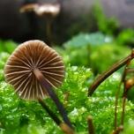 Marasmius species