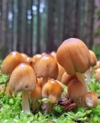 Coprinellus species