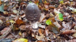 Macrolepiota species