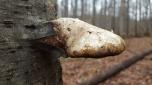 Piptoporus betulinus